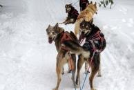 My wheel dogs, Packer and Linus, wishing they were running