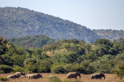 Elephants on the move in the distance