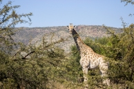 A giraffe towering above the trees