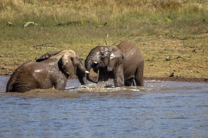 Elephants playing in the water hole