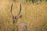 A waterbuck camouflaged in the tall grass