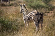 A shy baby zebra hides behind its mother