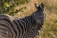 A zebra in the morning light