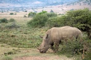 A grazing rhino