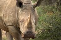 Rhino stare-down