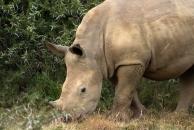 A young rhino