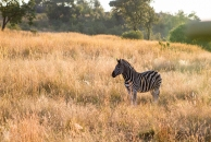 A zebra watching its leader for instructions