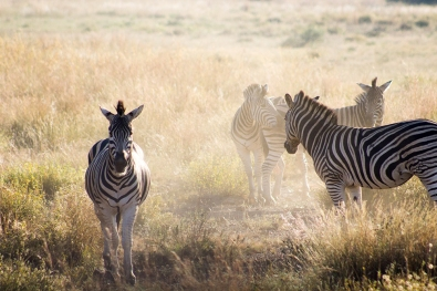 Dust hanging in the air after a zebra fight