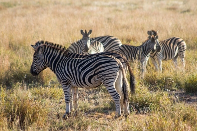 Zebras calming down after a fight