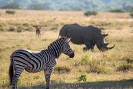 A zebram rhino, and impala cohabiting a field
