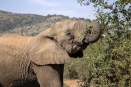 Adult elephants consume 200-600 pounds of food a day