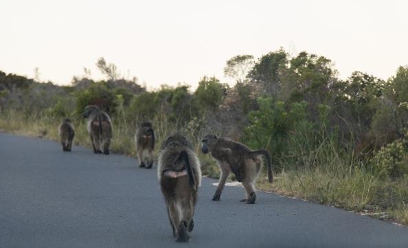 Baboons along the road on Cape Peninsula