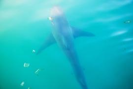 Brown Whaler Shark