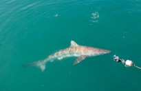 Brown Whaler Shark