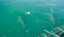 Brown Whaler Sharks circling the cage