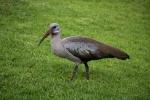 A glossy ibis in Kirstenbosch