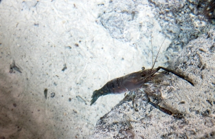 A crustacean in one of the pools at Peguyangan