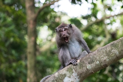A macaque making faces at us