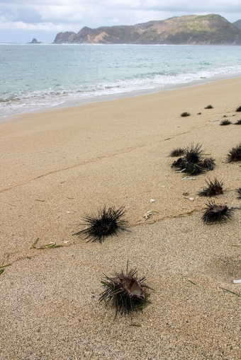 A trail of washed-up sea urchins