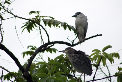 Herons in the park