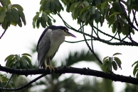 A heron in the park