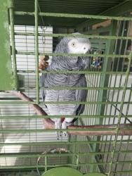 Nuki the African Grey Parrot