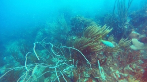 Soft corals swaying with the ocean current