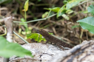 An anole along the trail