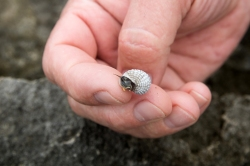 A tiny snail found in a tide pool