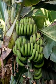 Banana tree on Banana Island